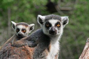 Ring-tailed Lemurs – translate